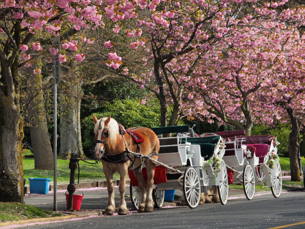 Places to Propose in Cape Town: horse-drawn carriage   Horse-drawn carriage