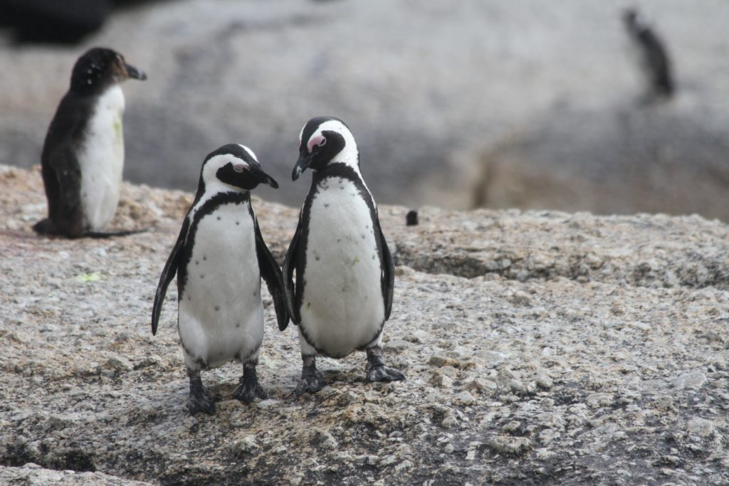 Places to propose in Cape Town; Boulder's Beach   Twp penguins